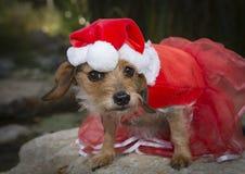 在红色鞋带礼服和圣诞老人帽子的一条滑稽的混杂的品种狗 库存图片
