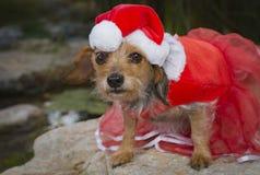 在红色鞋带礼服和圣诞老人帽子的好奇小混杂的品种狗 免版税库存图片