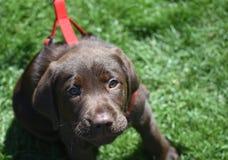 在红色鞔具的可爱的巧克力拉布拉多小狗 图库摄影