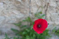 在红色鸦片花的软的焦点有石墙背景 免版税库存图片