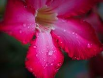 在红色adenium花的水滴有宏观看法 图库摄影