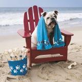在红色adirondack椅子的牛头犬在海滩 免版税库存图片