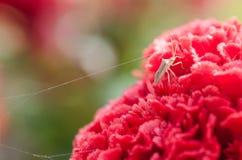 在红色cockscomb花的昆虫 免版税库存图片