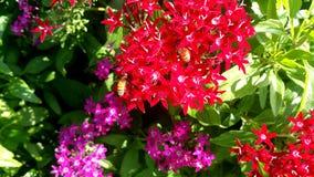 在红色pentas的蜜蜂 免版税库存照片