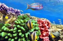 在红色Sea.Egypt的珊瑚和鱼 免版税库存图片