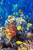 在红色Sea.Egypt的珊瑚和鱼 库存照片