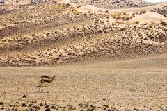 在红色Sossusvlei沙丘的两三只跳羚羚羊 免版税图库摄影