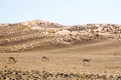 在红色Sossusvlei沙丘的跳羚羚羊 图库摄影