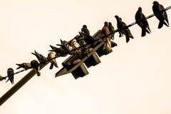 在红绿灯的鸽子 免版税库存照片