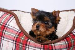 在红细胞的长沙发的约克夏狗小狗 库存图片