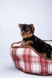 在红细胞的长沙发的约克夏狗小狗 库存照片