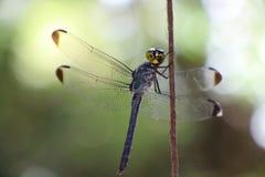 在纤维的蜻蜓 库存图片