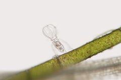 在纤维状海藻的淡水轮虫或rotatoria Stephanoceros fimbriatus 免版税库存照片
