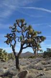 在约书亚树国家公园,加州的约书亚树 免版税图库摄影