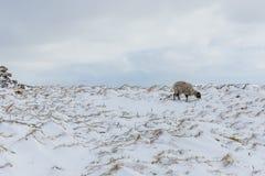在约克夏山谷的一只孤零零Swaledale母羊在冷漠的天气 免版税库存图片