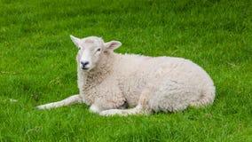 在约克夏山谷的一只绵羊 免版税库存照片