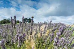 在约克夏淡紫色的蜂 库存图片