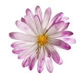 在纯净的白色背景的精美野花 免版税库存图片