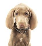 在纯净的白色背景的Weimaraner狗 免版税库存图片
