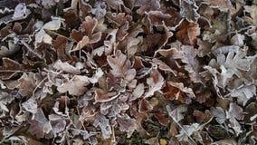 在纳帕谷橡木叶子的冷的早晨弗罗斯特 图库摄影