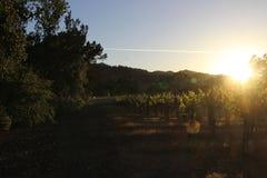在纳帕谷葡萄园的日落 免版税库存图片