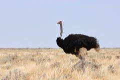 在纳米比亚拍摄的公驼鸟 库存图片
