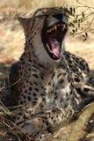 在纳米比亚的大草原的休息的野生非洲猎豹 库存照片