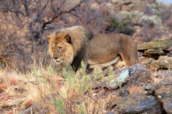 在纳米比亚的大草原的美丽的大公狮子 库存图片