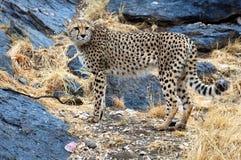 在纳米比亚的大草原的美丽的野生非洲猎豹 免版税库存图片