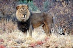 在纳米比亚的大草原的美妙的公狮子 库存照片