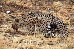 在纳米比亚的大草原的野生非洲猎豹 库存照片
