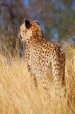 在纳米比亚的大草原的野生非洲猎豹 库存图片