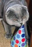 在纸帽子的滑稽的逗人喜爱的猫 生日宠物 苏格兰折叠猫 免版税库存图片
