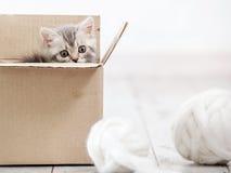 在纸板箱的好奇灰色小猫 图库摄影