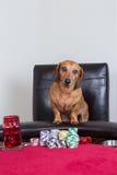 在纸牌筹码前面的微型达克斯猎犬姿势 库存照片