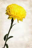 在纸的黄色菊花 免版税库存照片