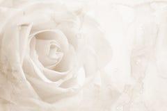 在纸纹理的抽象水彩与美丽的白色玫瑰 库存图片