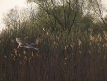 在纸莎草的巨大白色苍鹭飞行 免版税库存图片