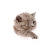 在纸边被撕毁的孔的嬉戏的苏格兰小猫 查出在白色 库存图片