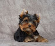 在纺织品背景的可爱的小狗 免版税图库摄影