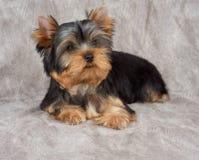 在纺织品背景的小狗 免版税图库摄影