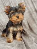 在纺织品背景的小狗 库存照片