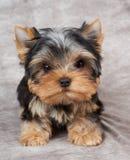 在纺织品背景的小狗 图库摄影
