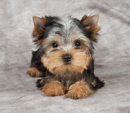 在纺织品背景的小狗 库存图片
