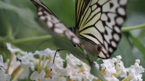 在纽芬兰加拿大的蝴蝶 影视素材