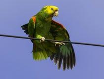 在线栖息的鹦鹉 免版税图库摄影