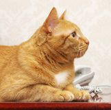 在线猫红色 免版税库存图片