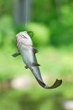 在线的鲶鱼 库存图片
