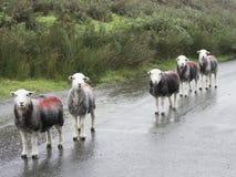 在线的5只绵羊 库存照片
