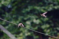 在线等待的牺牲者后面的一只燕子 免版税库存照片